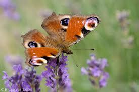 vlinders, voor artikel van Rita Koolstra (beeldend kunstenaar hedendaagse kunst) over René Daniëls