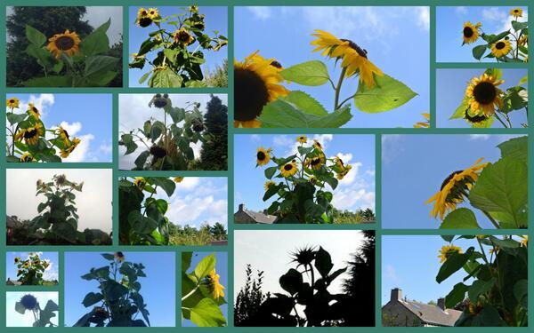 Verzameling zonnebloemen van mei tot november, Rita Koolstra, 2013